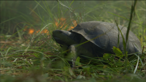 Gopher Tortoises: Burrowing to Escape Forest Fires