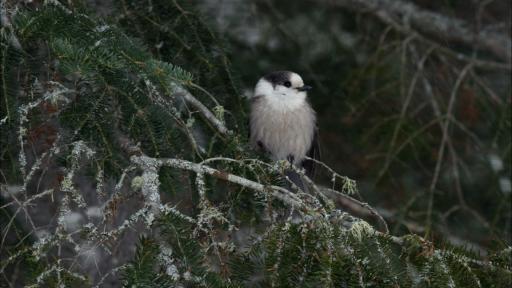 Behavioral Adaptations: The Gray Jay