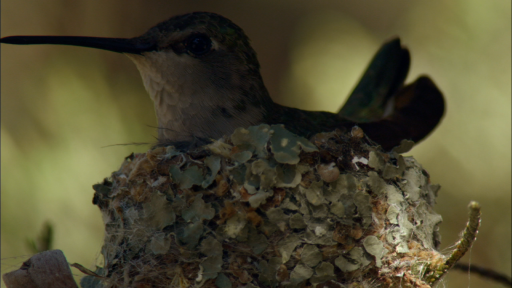 Hummingbirds and Hawks: An Unlikely Pair