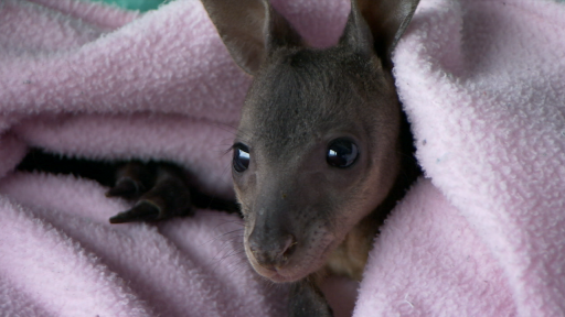 Clip |  Orphaned Baby Wallaby Gets Special Attention