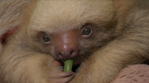 Two-Toed Sloth Orphans Cozy Up