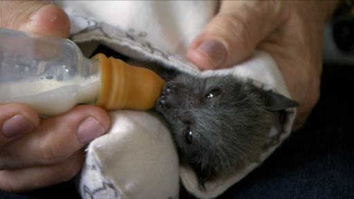Clip | Helping Fruit Bat Orphans in Australia