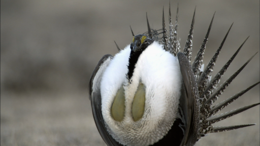 Courtship Rituals of the Greater Sage-Grouse