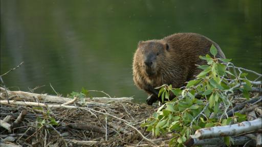 Beavers: Nature's Architects