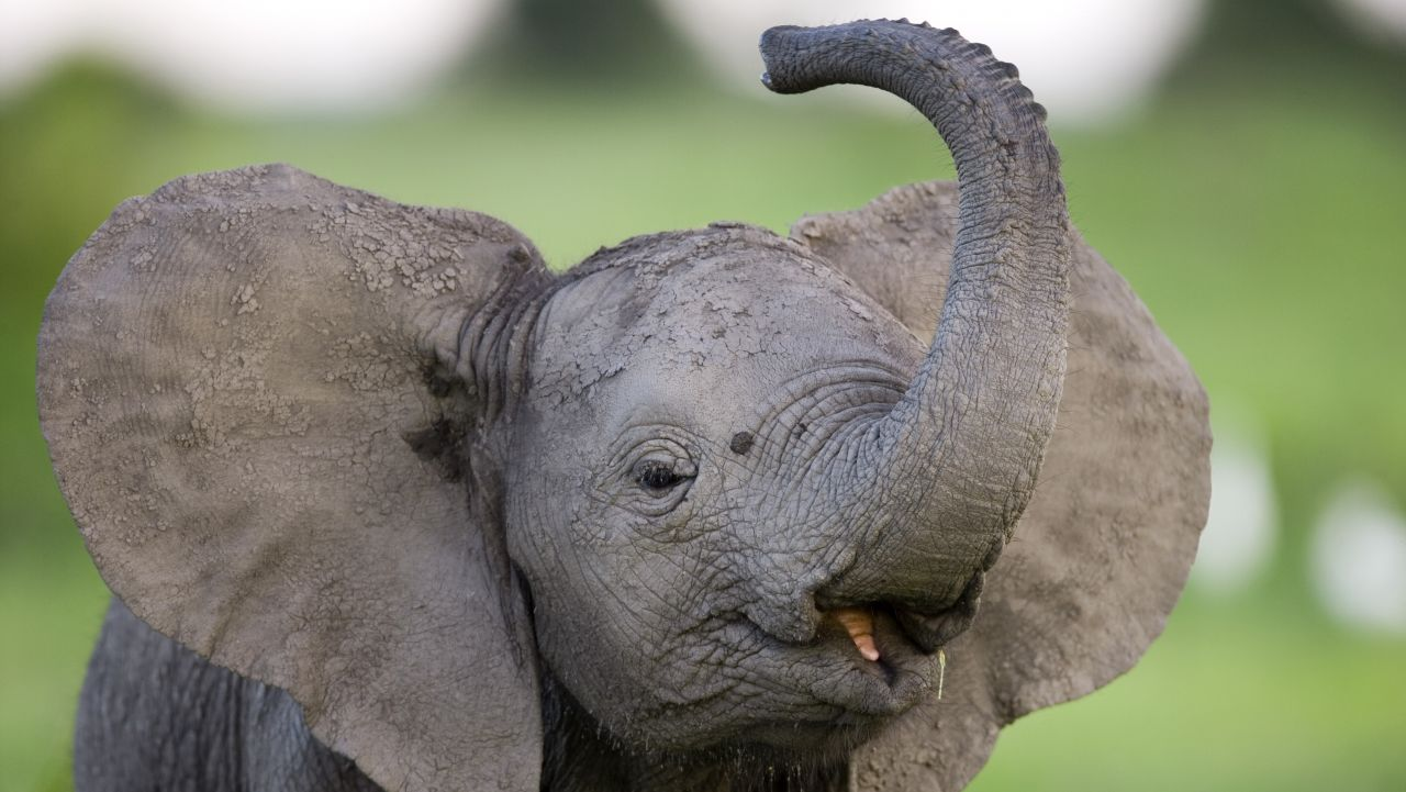 Elephant calf (Loxondonta Africana) displaying and playing in Botswana's Okavango Delta. Beverly Joubert/© Wildlife Films