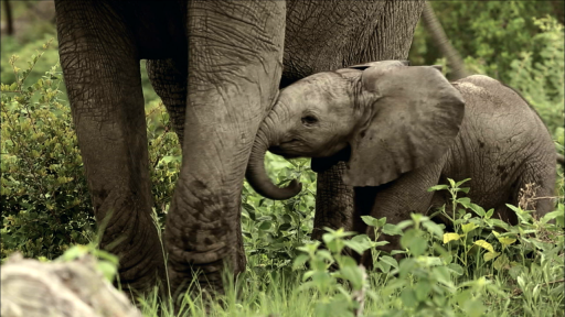 Clip |  Baby Elephant Finds His Footing