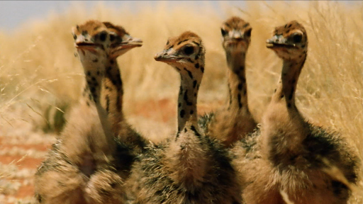 Big Birds Can't Fly -- Baby Ostriches Hatching