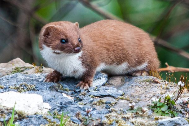 Caption: The stoat, or short tailed weasel, which has an appetite for kiwi chicks. (Derek Parker via Flickr)