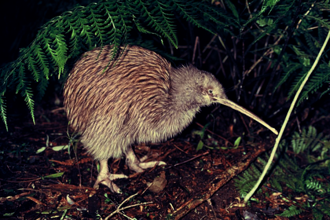 Featured Creature: Kiwi