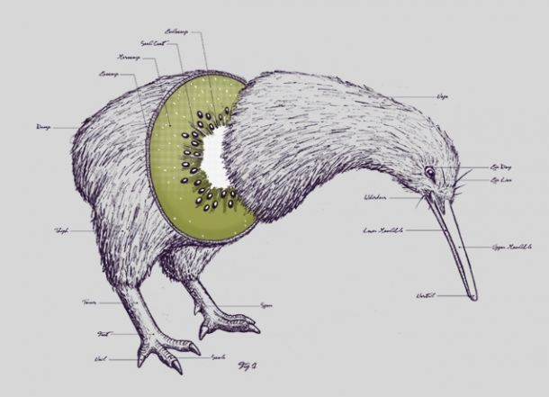 description of a kiwi bird Kiwis, the squat vertebrates endemic to new zealand—not to be confused with  the hairy fruit—are odd birds the endangered, chicken-sized kiwi is the smaller.