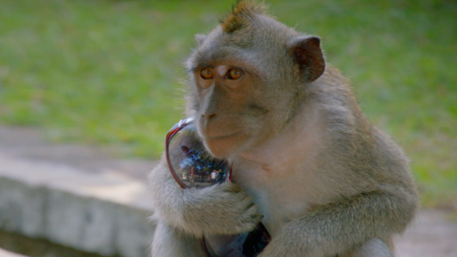 Clip |  Clever Monkeys Steal Tourists' Belongings, Ransom for Food