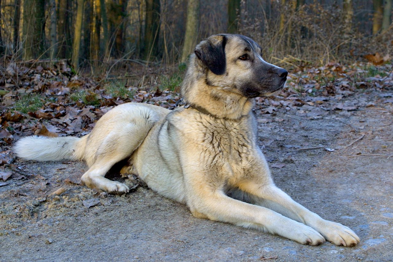 Kangal Soldier Of The Steppe Blog Nature Pbs