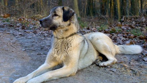 Kangal: Soldier of the Steppe