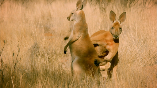 Clip |  The Sneaky Mating Strategy of Red Kangaroos