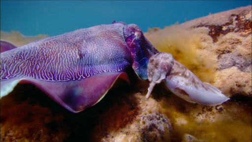 Clip |  Cuttlefish Males Fool Rivals by Imitating Opposite Sex