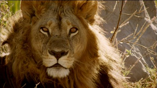 Clip |  Maned Lioness Displays Both Male and Female Traits