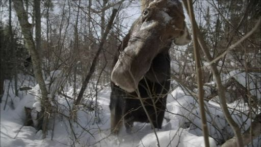 Moose: Life of a Twig Eater -- Brain Parasite Turns Moose Into Zombies