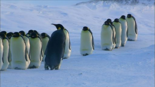 How Female Emperor Penguins Find Their Chicks