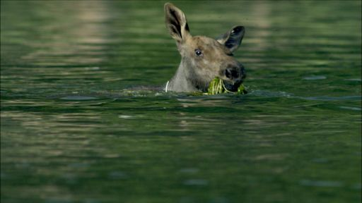 Clip |  Adorable Baby Moose Learns to Swim