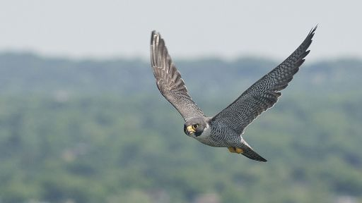 How to Film Peregrine Falcons in the Concrete Jungle