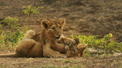 India's Wandering Lions -- Lion Cubs Playing with Mom and Dad