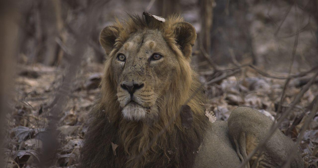 Gir-Lion_011