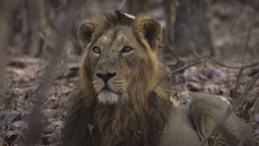 India's Wandering Lions | About | Nature | PBS