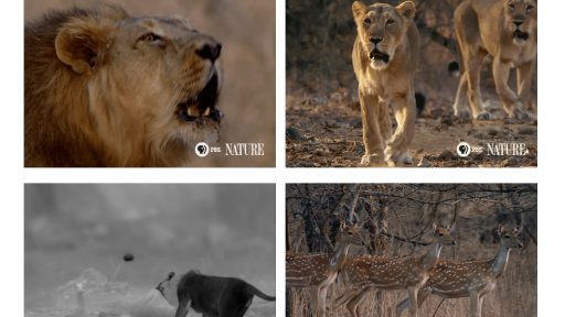 'India's Wandering Lions' Animated GIFs