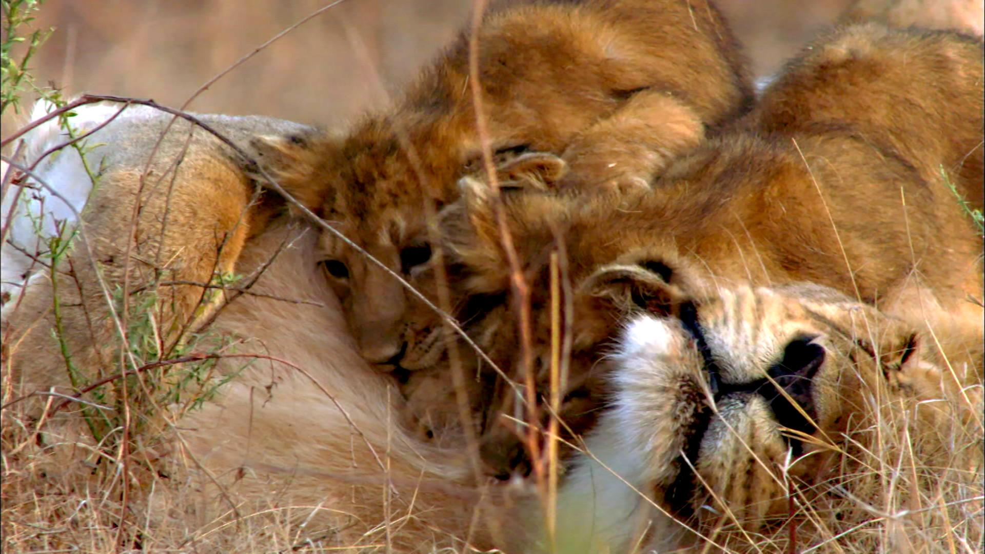 lions - photo #44