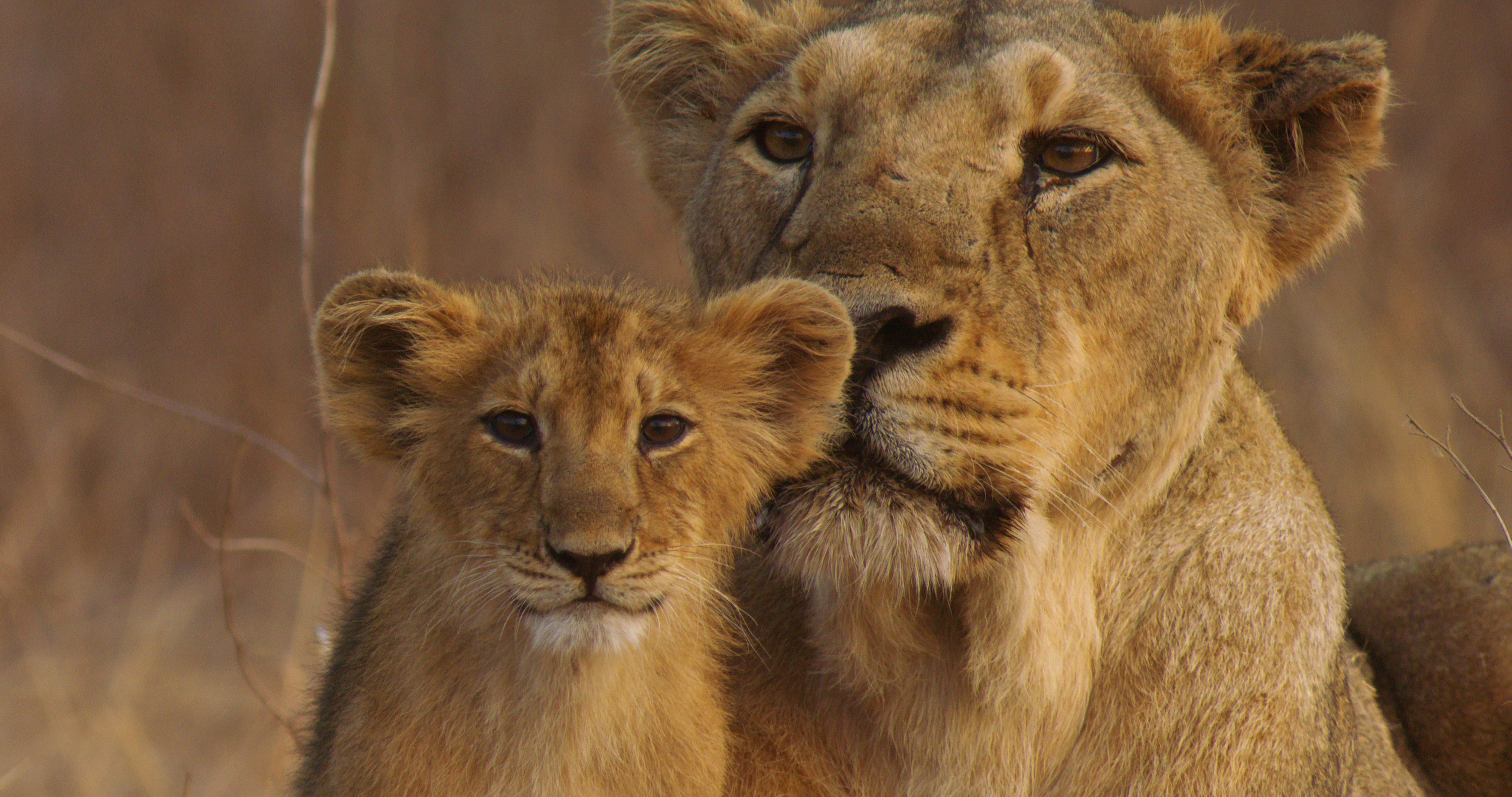 lions - photo #34