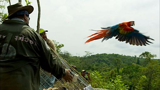 Clip |  Scarlet Macaws Released to the Wild