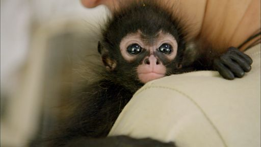 Clip |  Orphaned Spider Monkey Nursed Back to Health