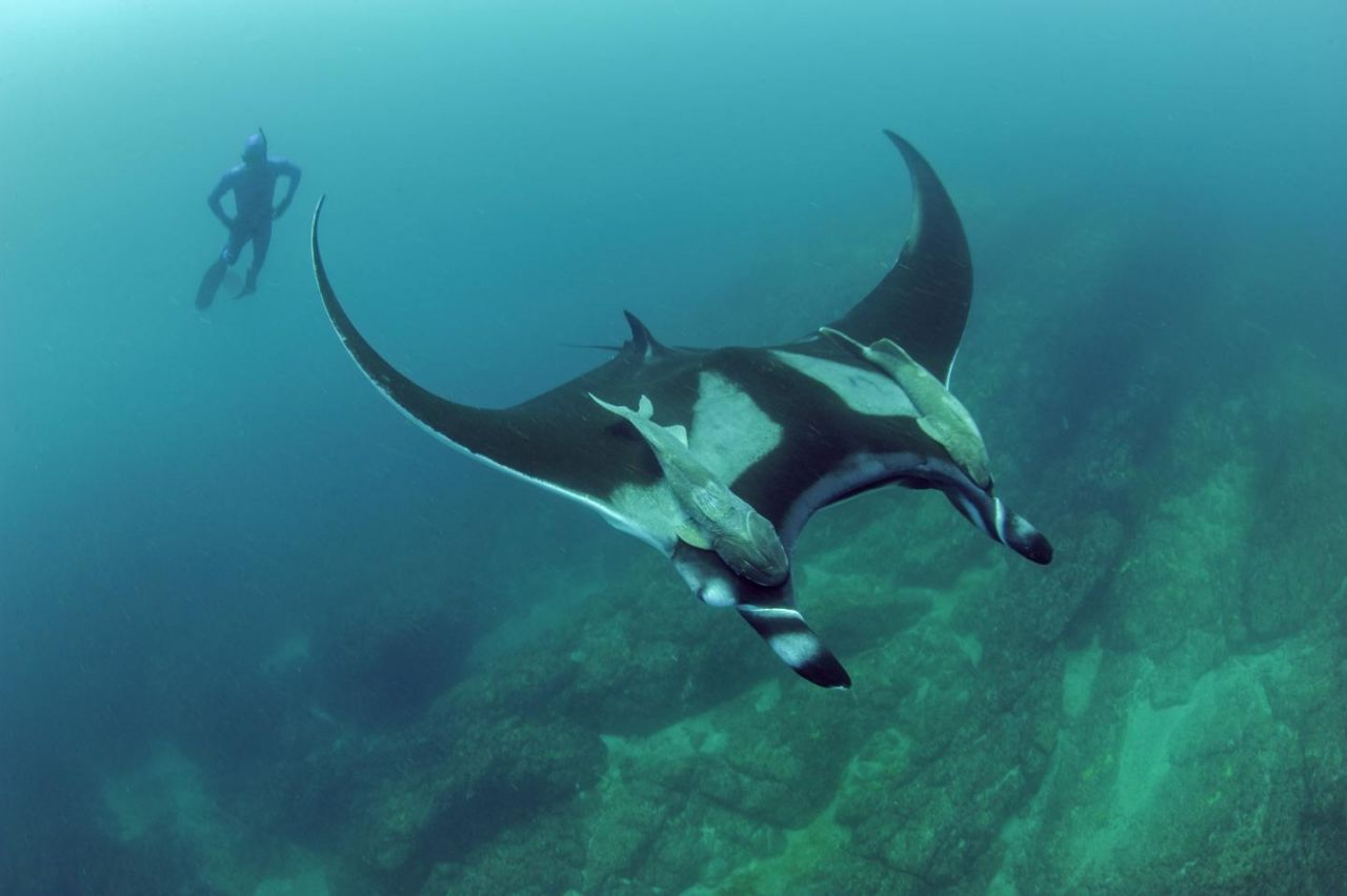 Scripps graduate student Josh Stewart swims near a giant oceanic manta ray at Bahia de Banderas off mainland Pacific Mexico. | Credit: Scripps Oceanography/Octavio Aburto