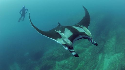 Giant Manta Rays: Ocean Drifters or High Seas Homebodies?