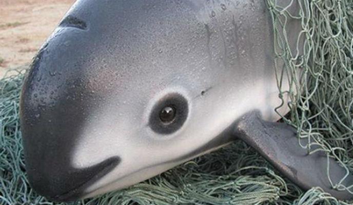 Vaquita-marina2_g