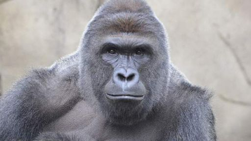 Animal Experts Weigh-In on the Death of Harambe