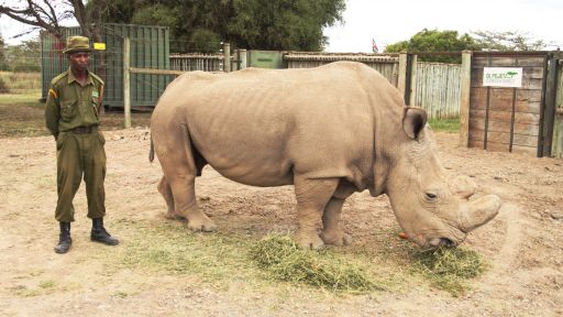 Do the World's Three Remaining Northern White Rhinos Have a Future?