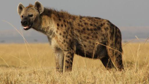 Spotted hyena (Crocuta crocuta) in the Masai Mara Reserve.