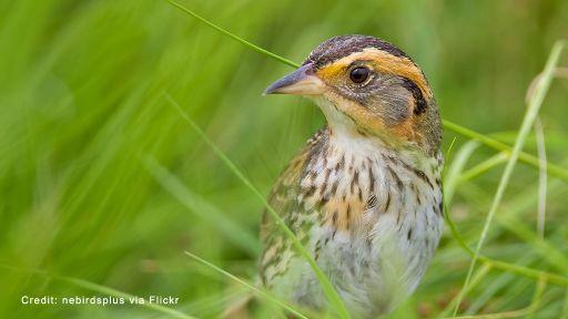 Can the Saltmarsh Sparrow Keep Its Head Above Water?