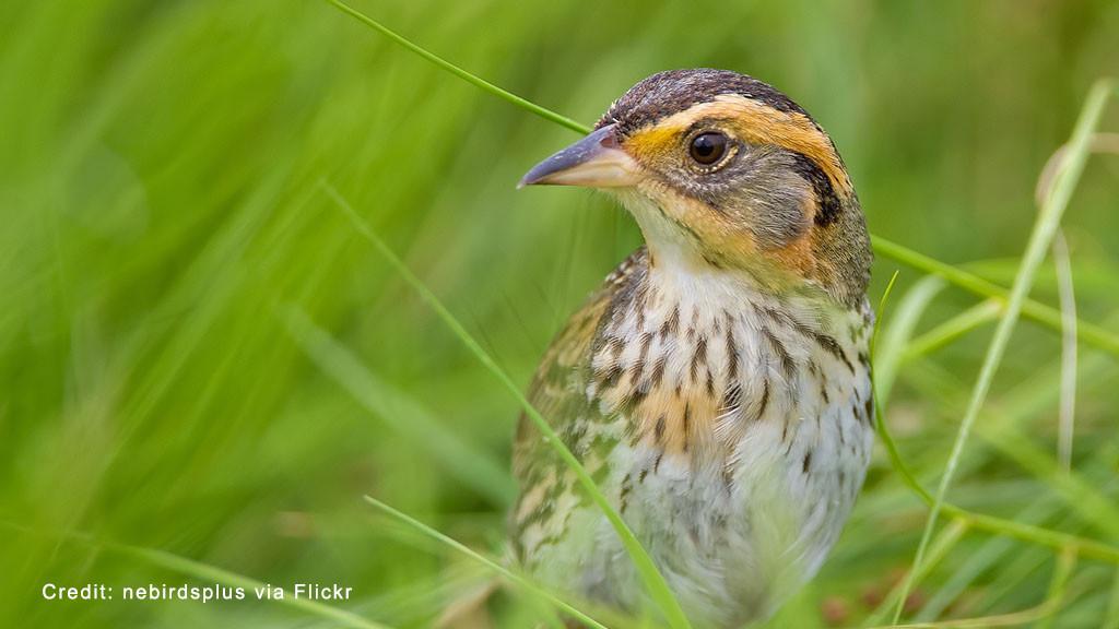 The saltmarsh sparrow (Ammodramus caudacutus).