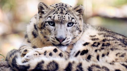 Snow Leopard Conservation Gets Boost from New Tech