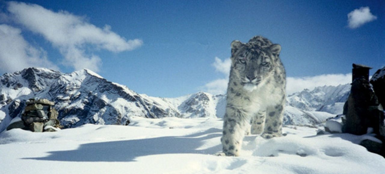 Snow Leopard Conservation Gets Boost from New Tech | Blog
