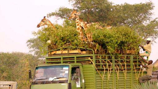 Giraffes: Africa's Gentle Giants -- Giraffe Road Trip