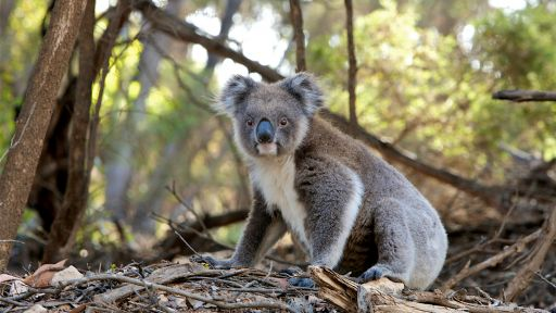 Climate Change Could Turn Up Heat on Already Vulnerable Koalas
