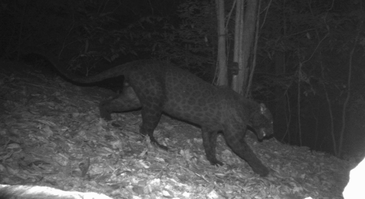 Melanistic male Indochinese leopard from Malaysia, where Indochinese leopards appear all-black, with spots illuminated using infrared light. | Credit DWNP, Panthera, and Rimba.