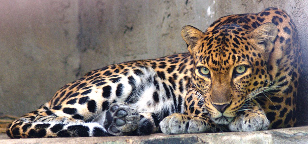 Indochinese_leopard