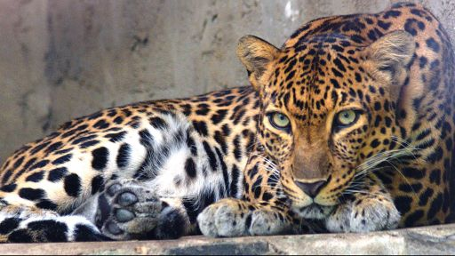 Indochinese Leopard's Range Has Shrunk by more than 94 Percent