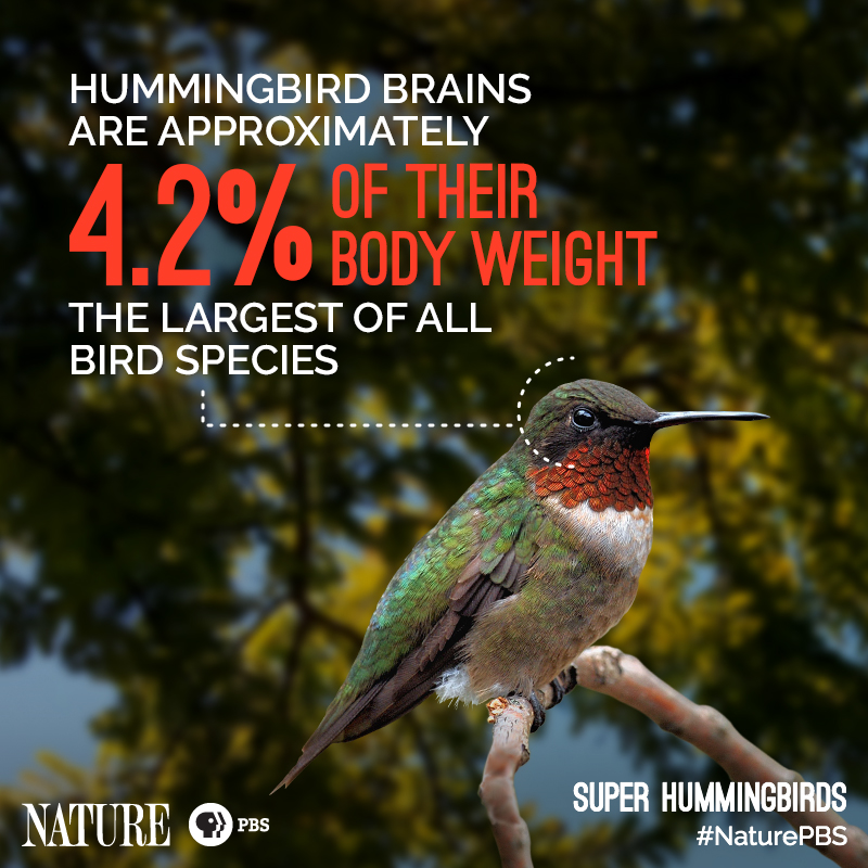 Nature-Hummingbird-Fact-1