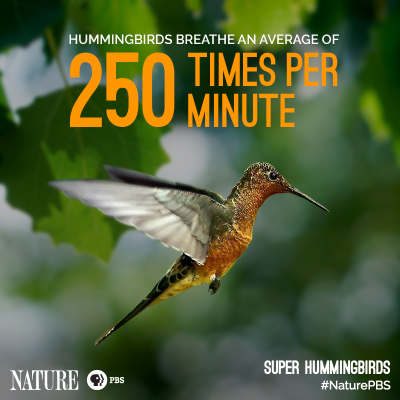 Nature-Hummingbird-Fact-2