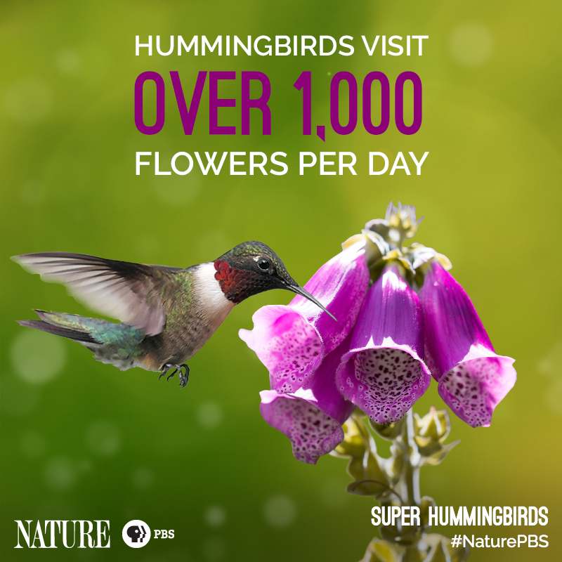 Nature-Hummingbird-Fact-4